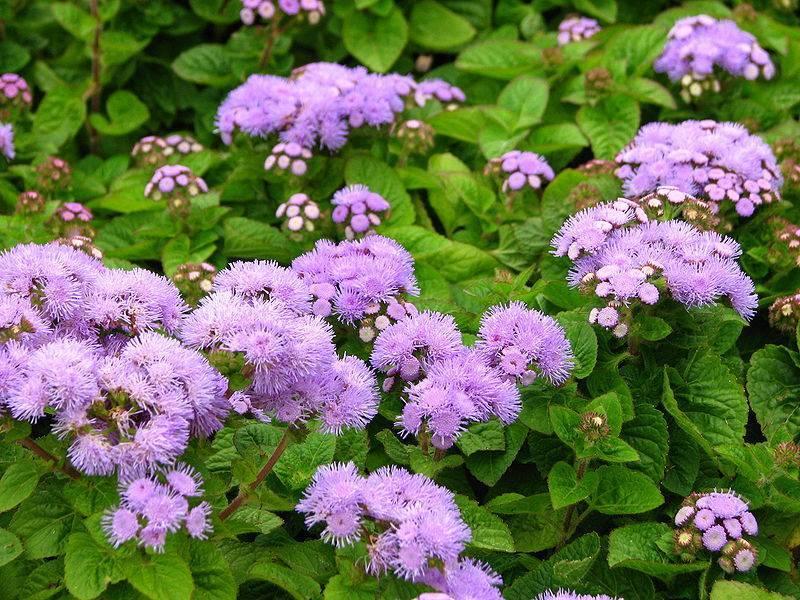 Агератум — 50 фото цветов и их сорта: рассада и уход, когда сажать растение в грунт