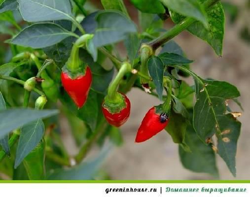 Выращивание перца Чили в домашних условиях на подоконнике или балконе