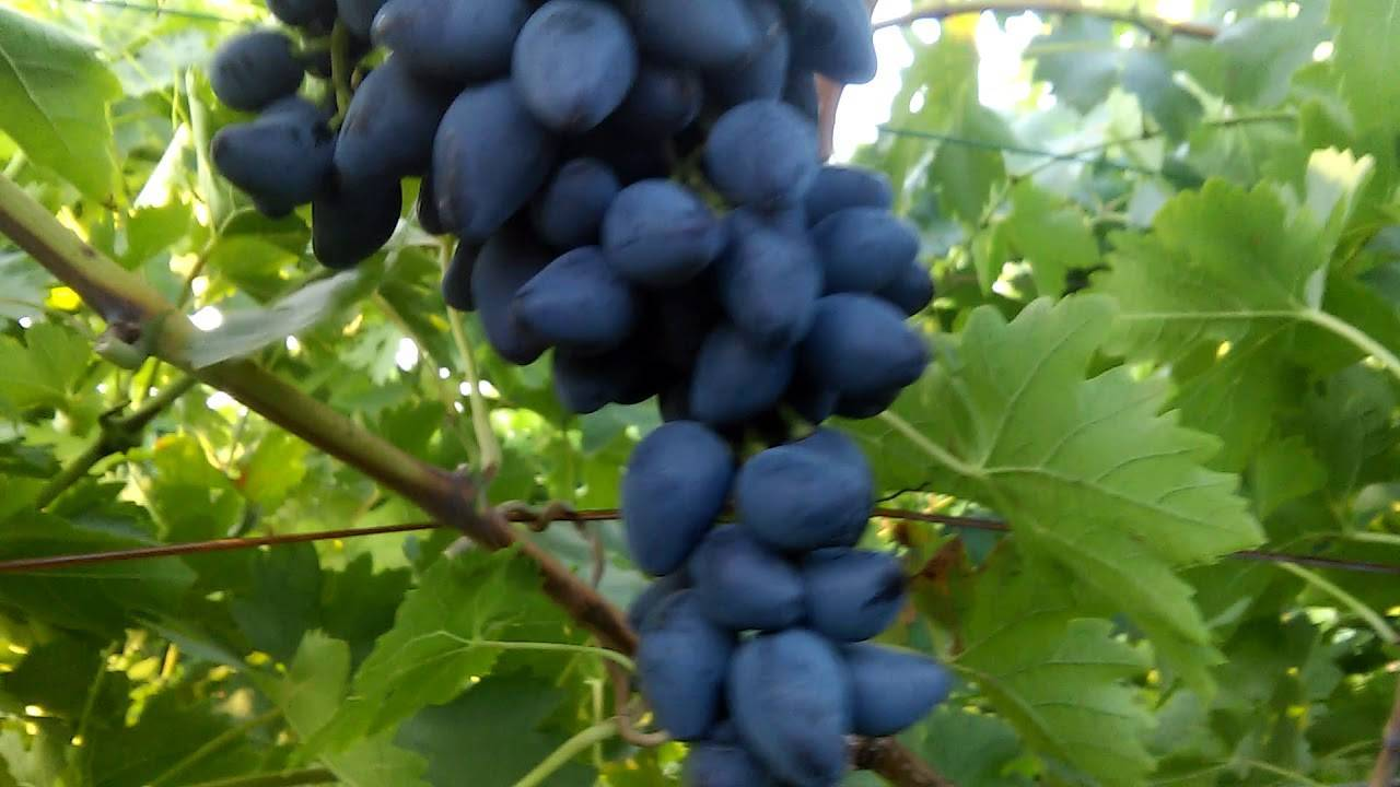 Описание и характеристики винограда сорта Викинг, плюсы и минусы