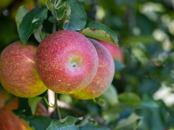 Отличные декоративные качества демонстрирует яблоня сорта волжанка
