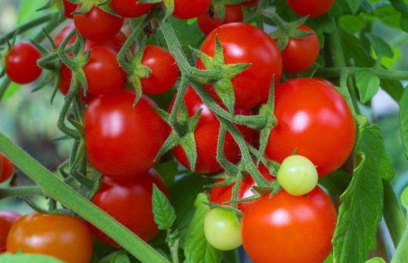 Помидоры «волгоградские»: характеристики сорта и особенности выращивания