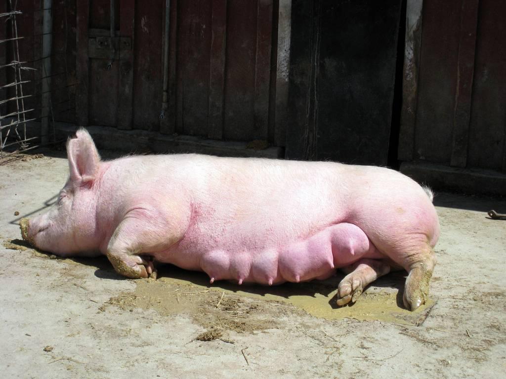 Принцип искусственного осеменения свиней