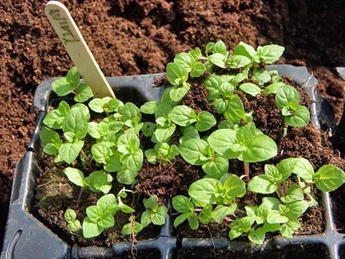 Выращивание земляничной мяты и отзывы садоводов