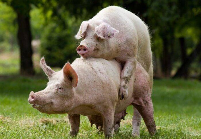 Случка свиней: признаки половой охоты и особенности процесса