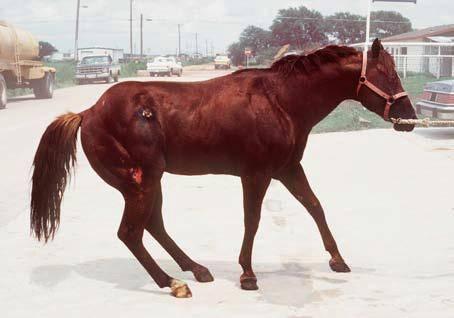 Симптомы и лечение колик у коровы