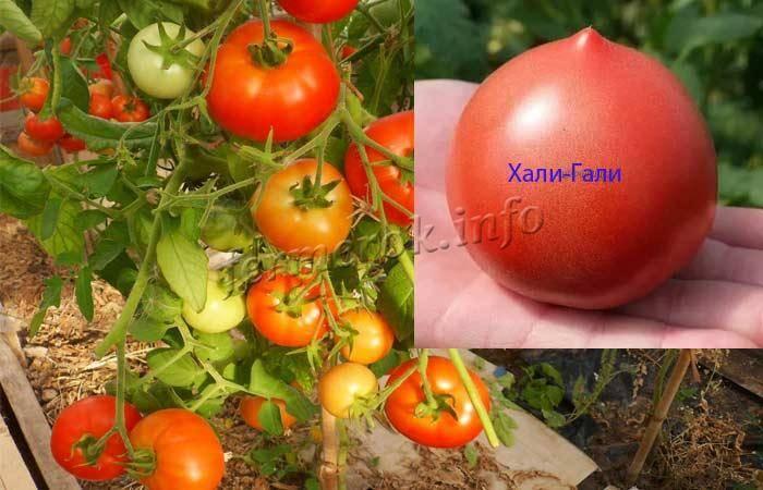 Сорт (гибрид) томатов «тайфун f1»: описание, характеристика, урожайность, фото и видео