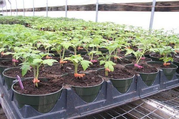 Применение эпина для рассады помидор