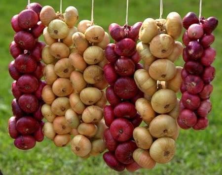 Сбор урожая лука репчатого и порея: когда убирать и как хранить?
