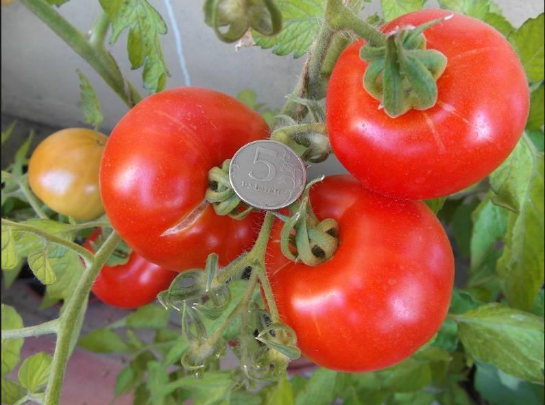 Томат агата: описание сорта, особенности выращивания, отзывы
