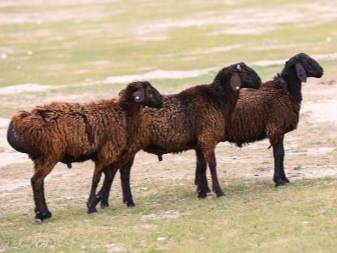 Выбор курдючной породы овец и баранов
