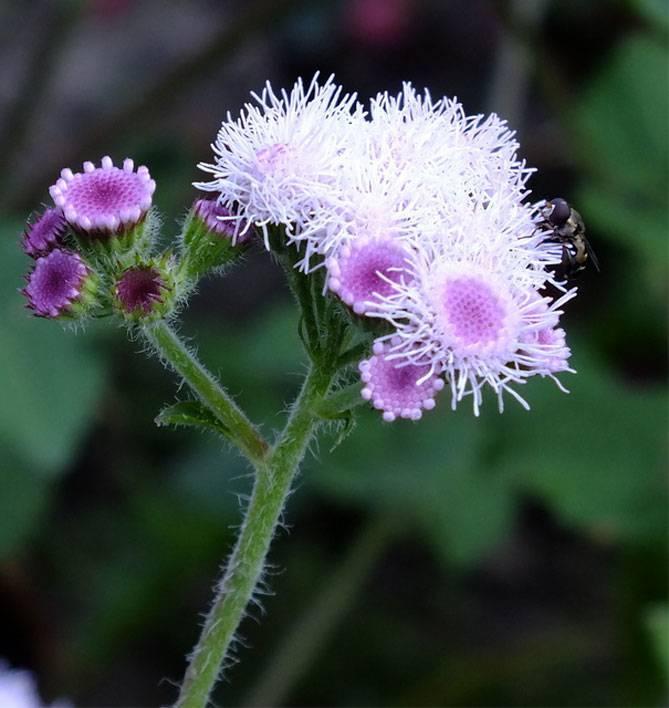Агератум: выращивание растения из семян в домашних условиях, посадка и уход в открытом грунте