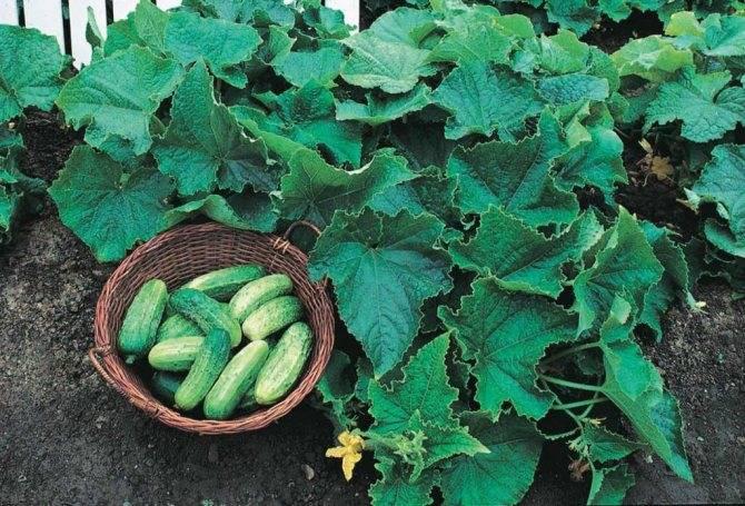 Некапризный в уходе огурец «лютояр f1», приносящий богатый и ранний урожай
