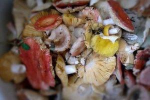 Гриб горькушка: фото и подробное описание