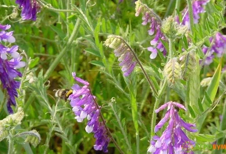 Вика посевная (фото цветов) – советы, секреты, рекомендации