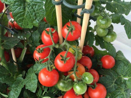 Посадка помидоров на рассаду в 2020 году