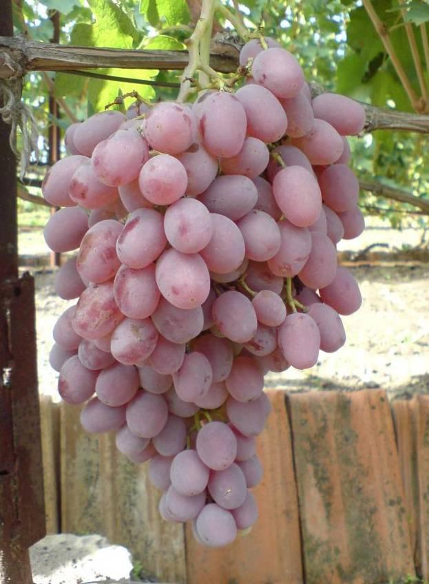 Вино из винограда в домашних условиях: простой рецепт