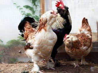 Про мясных кур и их содержание