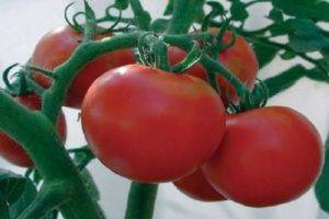 Отличный салатный сорт томатов «премьер»: описание, характеристики, особенности выращивания