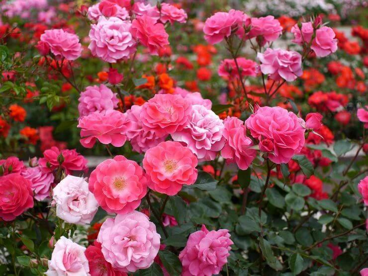 Полиантовые розы: сорта, советы по выбору и уходу