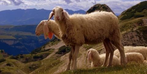 Такие разные породы овец