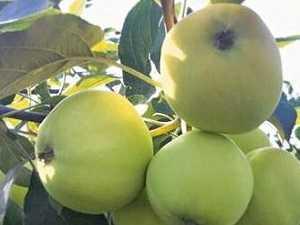 Сорта яблонь разного срока созревания