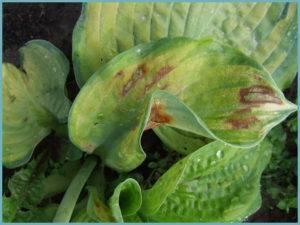 Вредители и болезни хосты — фото, способы лечения