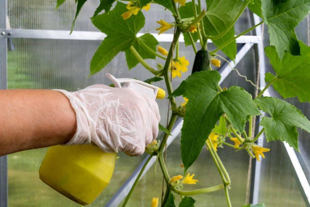 Обработка огурцов зеленкой и йодом – 2 варианта применения и описание рабочего процесса