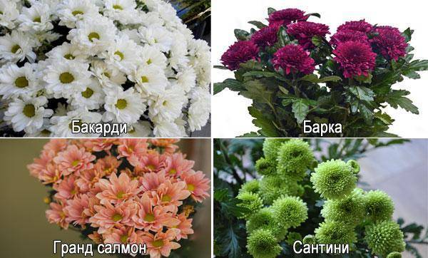 Хризантемы — «искорки солнца»: посадка, выращивание и уход