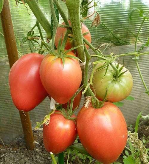Томат мазарини: характеристика и описание сорта