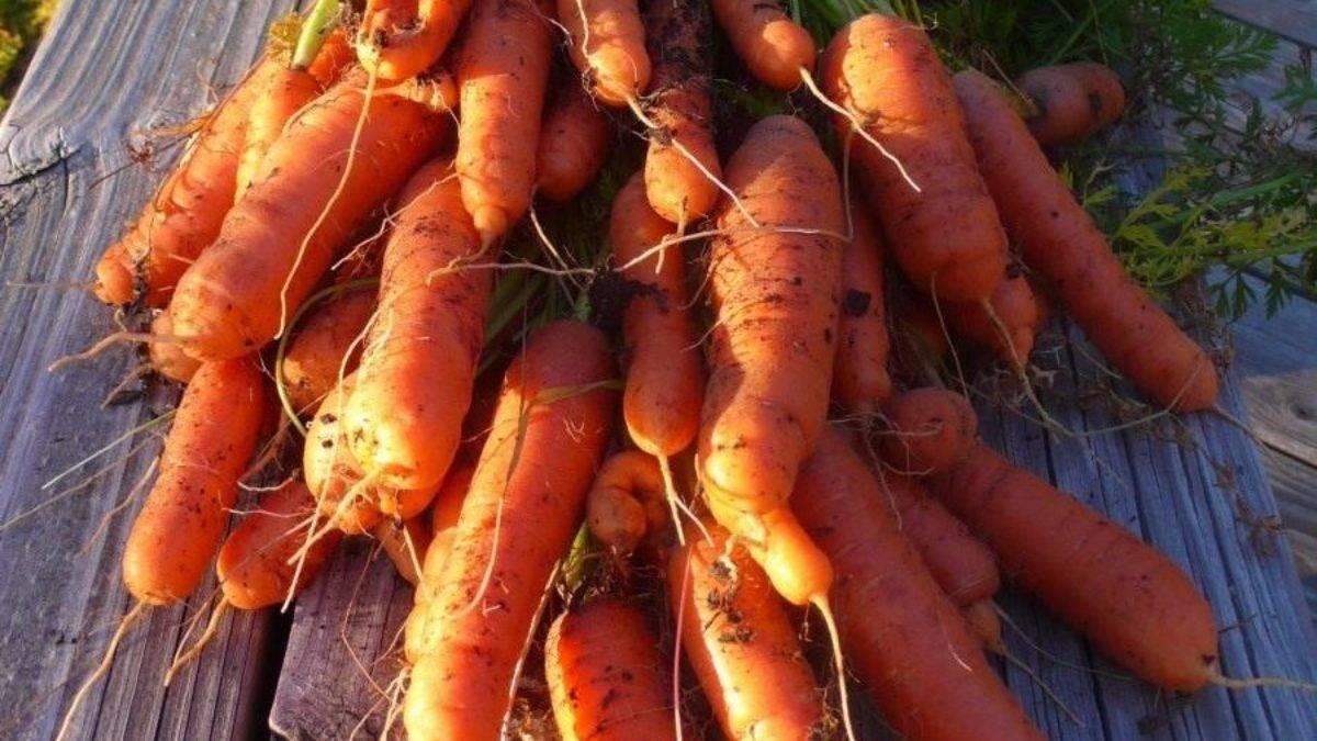 Как правильно сажать морковь – от подготовки почвы и семян до первых всходов