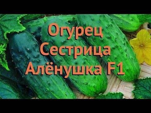Огурцы сестрица аленушка f1: отзывы, описание сорта и фотографии, посадка, выращивание и уход