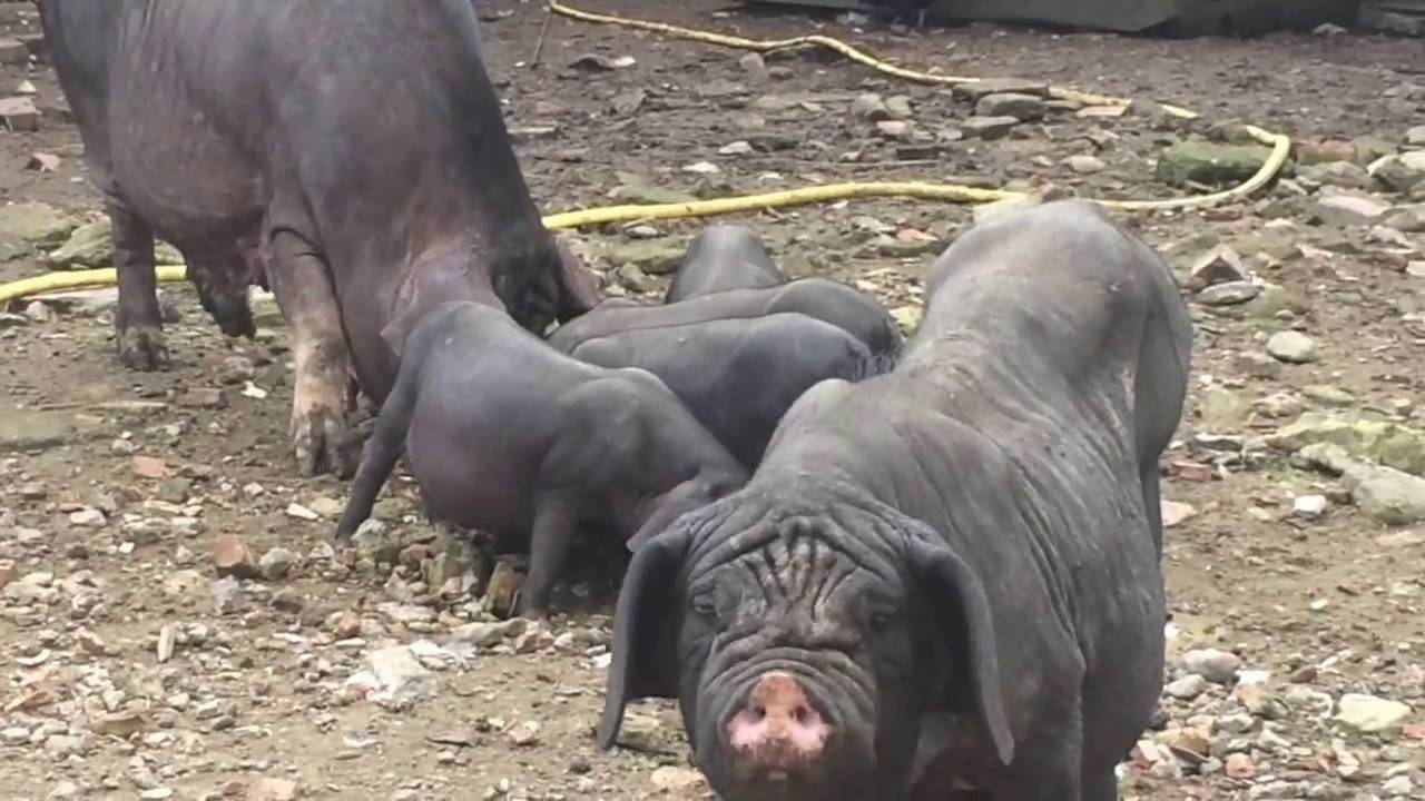 Описание и характеристики породы свиней дюрок, условия содержания и разведение