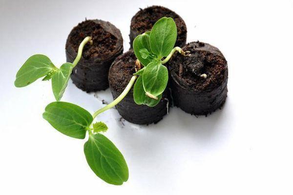 Не выливайте огуречный рассол! это отличное удобрение для огорода