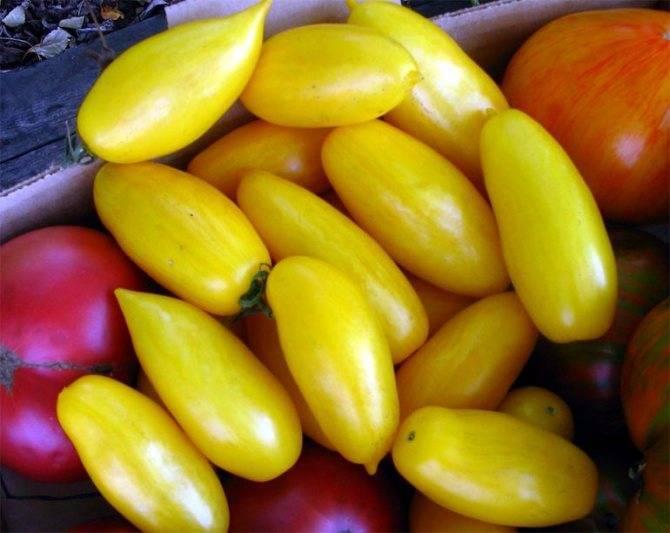 Один из самых ранних сортов томатов – французский гибрид «супернова f1»