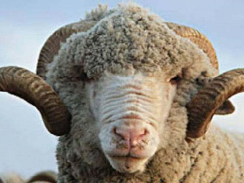 Описание и характеристики овец цигайской породы, правила их содержания