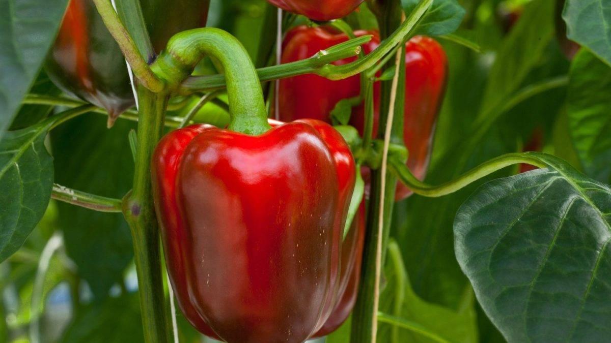 Как вырастить хабанеро дома. особенности и секреты выращивания перца хабанеро в домашних условиях
