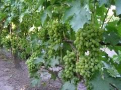 Виноград тимур: описание сорта, посадка, выращивание