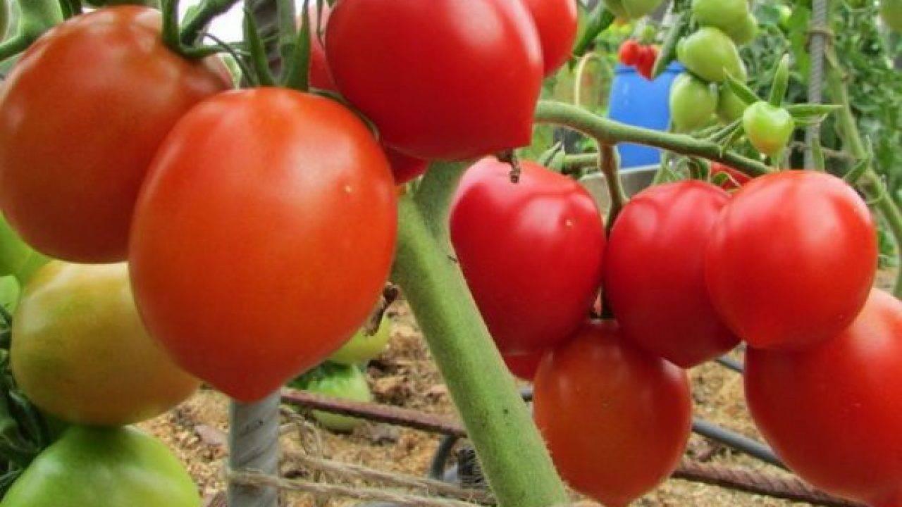 Фото, отзывы, описание, характеристика и урожайность сорта помидора «черный принц»
