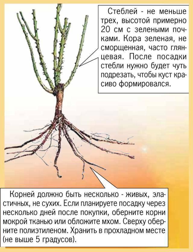 Правила и особенности осенней посадки роз с открытой корневой системой