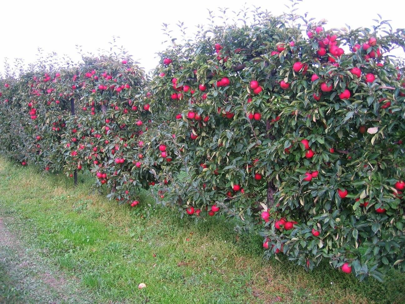 Описание и характеристики яблони сорта граф эззо, достоинства и недостатки, урожайность