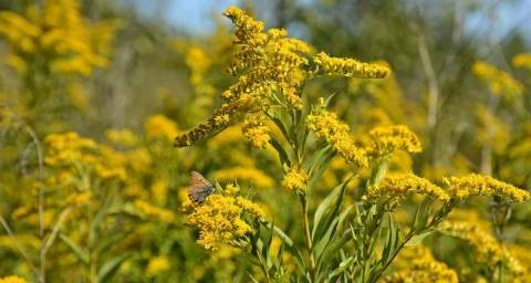 Гравилат посадка и уход в открытом грунте выращивание из семян в домашних условиях и грунте