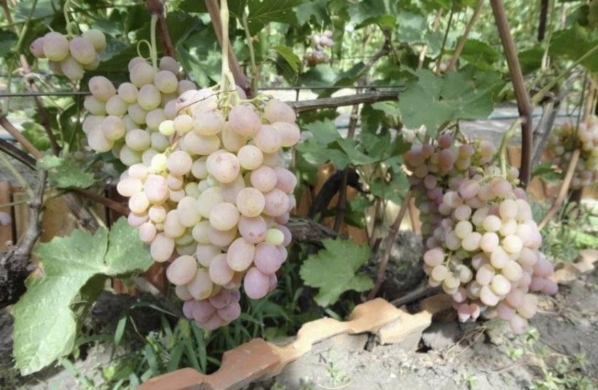 Простые пошаговые рецепты как сделать домашнее виноградное вино