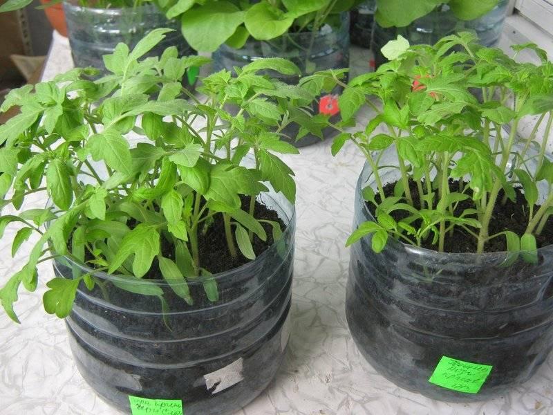 Как правильно пикировать томаты в пеленки и выращивать