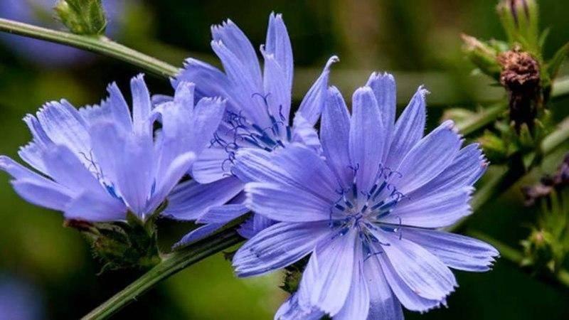 Цикорий: полезные свойства и противопоказания