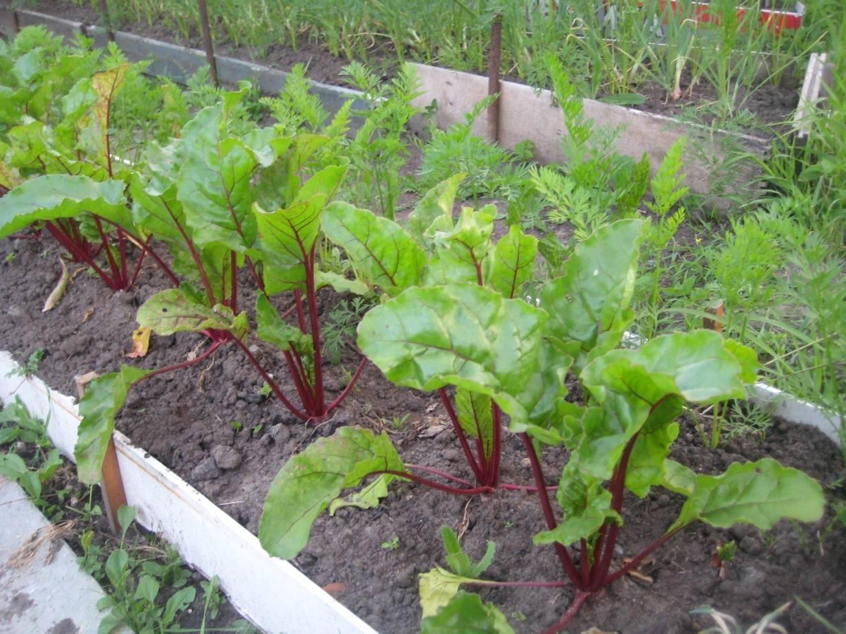 Как получить богатый урожай при различных агротехниках выращивания свёклы?  практические рекомендации