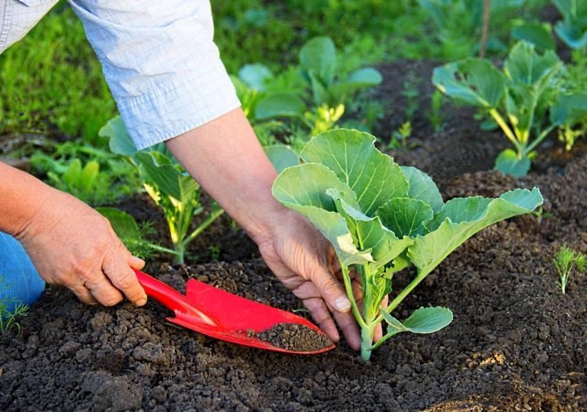 Чем подкормить капусту после высадки в грунт