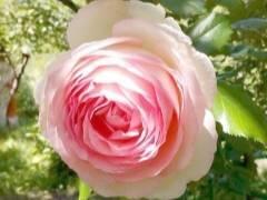Райский цветок в вашем саду - роза пьер де ронсар