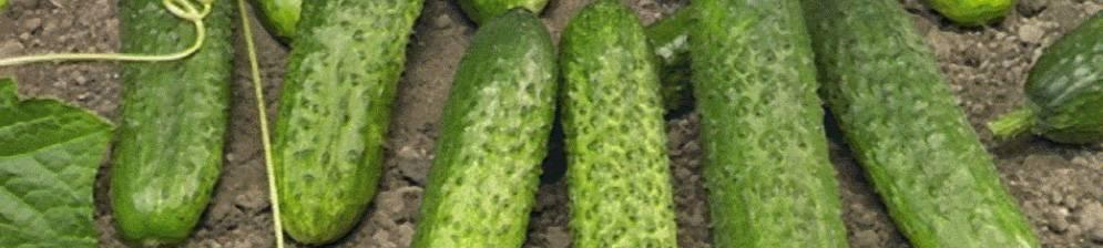 Огурцы маринда f1: всё о выращивании популярного сорта