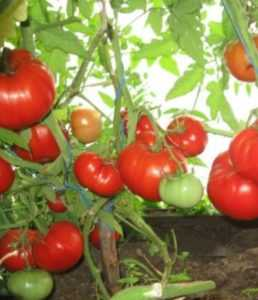 Томат бабушкин поцелуй: характеристика и описание сорта, урожайность с фото