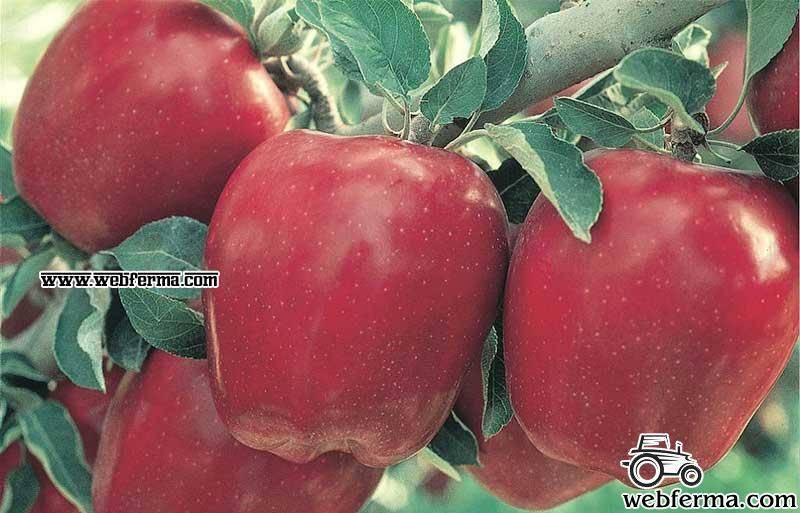 Вкусные яблоки сорта айдаред. фото